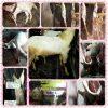 sembelih kambing kurban,sembelih kambing aqiqah,sembelih kambing sendiri,sembelih kambing betina,sembelih kambing,sembelih anak kambing,kambing disembelih,sembelih kambing etawa,sembelih kambing foto,gambar sembelih kambing,golok sembelih kambing,sembelih kambing photo,sembelih kambing qurban,kambing siap sembelih,biaya kerok kulit kambing,daging bersih siap masak,daging kambing siap masak,gratis ongkos cacah,gratis ongkos sembelih, gratis ongkos sembelih kambing dan cacah,jasa kerok kulit kambing