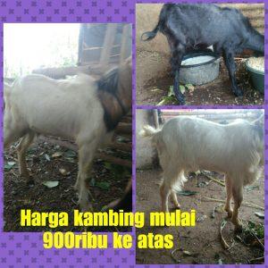 aqiqah di semarang, aqiqah semarang, harga daging kambing di semarang, harga daging kambing semarang, harga kambing akikah semarang, harga kambing aqiqah di semarang, harga kambing aqiqah semarang,