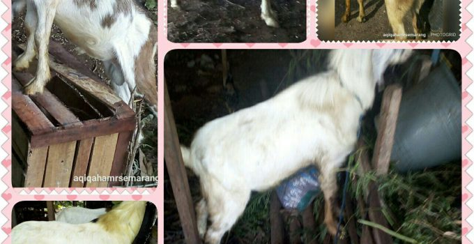 kambing jantan pe super, kambing pejantan pe,harga kambing jantan pe,harga kambing jantan per ekor,kambing pe pejantan super,gambar kambing pe jantan,kambing jantan pe,foto kambing pe jantan