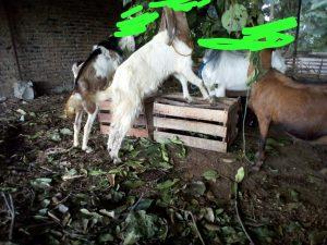 kandang kambing sederhana,kandang kambing dari bambu,kandang kambing lantai tanah,kandang kambing bambu,kandang kambing,kandang kambing alas tanah,kandang kambing atas tanah,kandang anak kambing,kandang kambing betina,kandang kambing biasa,kandang kambing dari kayu,kandang kambing dan ukurannya,kandang kambing murah,kandang kambing kacang,kandang kambing foto,kandang kambing gambar,kandang kambing ideal,kandang kambing indukan,kandang kambing induk,kandang kambing image,kandang kambing jawa,kandang kambing jawa yang baik,kandang kambing jantan dan betina,kandang kambing kayu,kandang kambing kecil,kandang kambing minimalis,kandang kambing peranakan etawa,kandang kambing jawa randu,kandang kambing dekat rumah,kandang kambing sederhana dan murah,kambing di kandang,gambar kambing di kandang,kandang kambing ukuran kecil,kandang kambing yang sederhana,kandang kambing yang efisien,kandang kambing yg baik dan benar,kandang kambing 10 ekor,kandang kambing 20 ekor,ukuran kandang kambing untuk 20 ekor