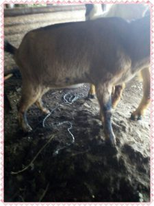 kambing kacang,kambing kacangan,kambing kacang betina,kambing kacang super,kambing kacang asli,kambing kacang adalah,kambing kacang harga,kambing kacang hitam