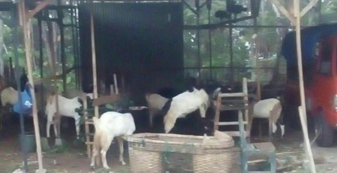 kambing qurban semarang,harga kambing qurban semarang,jual kambing qurban semarang,kambing qurban murah semarang,kambing qurban di semarang,harga kambing qurban di semarang,jual kambing qurban di semarang