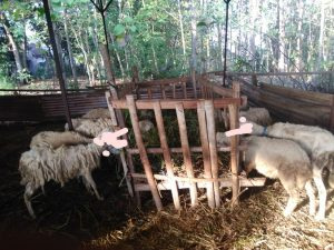 jual kambing gibas semarang,kambing gibas,kambing gibas unggul,kambing gibas super,kambing gibas jantan,kambing gibas adalah,kambing gibas anakan,kambing gibas asli