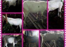 kambing jawa,kambing jawa super,kambing jawa randu,kambing jawa terbesar,kambing jawa randu super,kambing jawa jantan,kambing jawa asli,kambing jawa besar