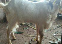 cara menjatuhkan kambing,cara menyembelih kambing pe,cara menjatuhkan kambing PE,cara merobohkan kambing PE,cara menjatuhkan dan menyebelih kambing PE yang benar,kambing aqiqah jenis pe, kambing qurban jenis pe