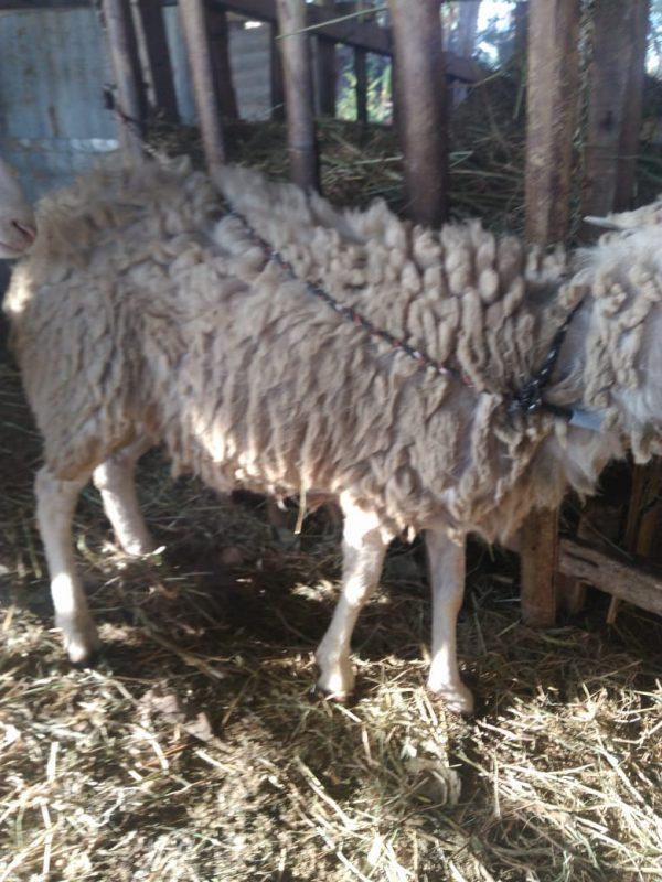 kambing gibas adalah, kambing gibas harga, kambing gibas jantan, kambing gibas asli, harga kambing gibas betina, kambing gibas dijual, harga kambing gibas jantan, qurban kambing gibas, jual kambing gibas untuk qurban di semarang, harga kambing gibas qurban semarang, jual kambing qurban semarang, harga kambing qurban di semarang,