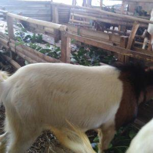 kambing peranakan etawa adalah, kambing peranakan etawa harga, harga kambing peranakan etawa betina, foto kambing peranakan etawa, kandang kambing peranakan etawa, jual kambing peranakan etawa untuk qurban, kambing pe qurban, kambing pe untuk kurban, kambing untuk qurban di semarang, jual kambing qurban di semarang, harga kambing qurban di semarang,