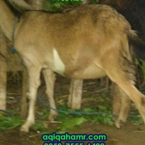 kambing aqiqah blesteran kacang PE, kambing betina aqiqah, kambing aqiqah betina, kambing kacang, kambing PE, Kambing peranakan etawa kambing aqiqah, kambing aqiqah murah, aqiqah semarang, paket catering aqiqah