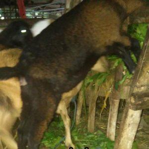 kambing aqiqah kacangan betina, kambing betina aqiqah kacangan, kambing aqiqah betina kacangan, kambing betina aqiqah, kambing aqiqah betina, kambing kacang, kambing kacangan murah, kambing kacangan semarang, kambing aqiqah, kambing aqiqah murah, aqiqah semarang, paket catering aqiqah