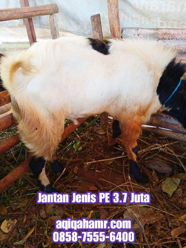 kambing qurban jantan pe, kambing jantan jenis PE, kambing peranakan etawa, kambing qurban pe, kambing qurban peranakan etawa, jual kambing qurban PE, harga kambing qurban peranakan etawa, jual kambing qurban semarang, harga kambing qurban semarang