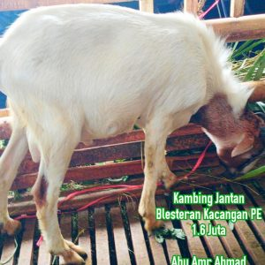 kambing aqiqah betina blesteran kacangan pe, kambing aqiqah jantan blesteran kacangan pe murah, kambing aqiqah kacangan jantan, kambing aqiqah jantan kacangan, kambing jantan kacangan, kambing kacangan jantan, kambing kacangan, jual kambing aqiqah kacangan, jual kambing kacangan, kambing kacangan semarang, jual kambing kacangan semarang, harga kambing kacangan semarang, kambing aqiqah pe jantan, kambing aqiqah jantan peranakan etawa, kambing jantan Pe, kambing peranakan etawa jantan, kambing PE, jual kambing aqiqah peranakan etawa, jual kambing PE, kambing peranakan etawa semarang, jual kambing pe semarang, harga kambing peranakan etawa semarang, aqiqah semarang, paket aqiqah semarang, jasa aqiqah semarang, aqiqah semarang 2021, catering aqiqah semarang, harga kambing aqiqah semarang, paket aqiqah semarang 2021, kambing aqiqah semarang, kambing aqiqah semarang sumurboto banyumanik, nasi box aqiqah semarang, harga aqiqah semarang, aqiqah semarang 2021, jasa catering aqiqah semarang kota semarang jawa tengah, jual kambing aqiqah semarang, alamat rumah aqiqah semarang, kambing aqiqah semarang semarang jawa tengah, layanan aqiqah semarang, aqiqah semarang kota semarang jawa tengah